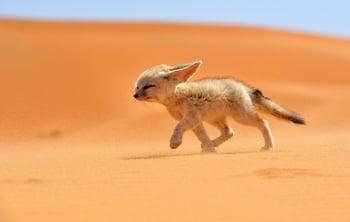 Fennec Fox (credit: NatGeo)